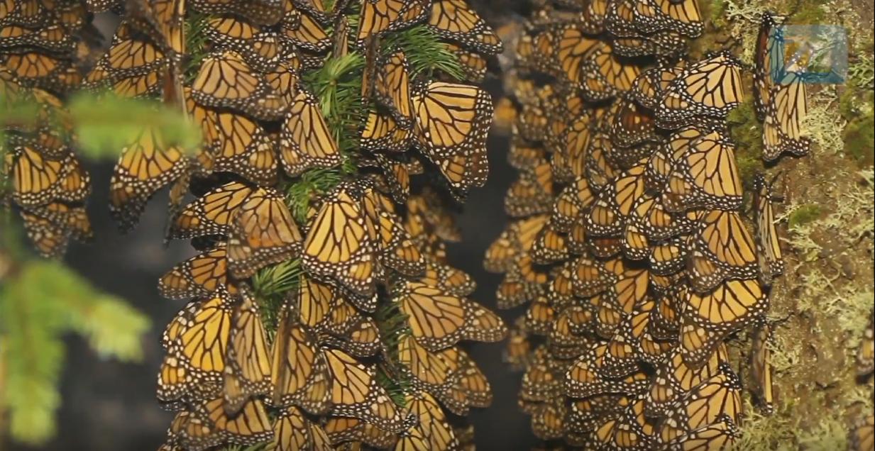mariposa bios méxio monarca