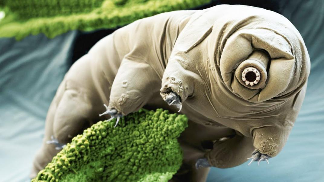 tardígrado tardígrados tardigrade tardigrades micro